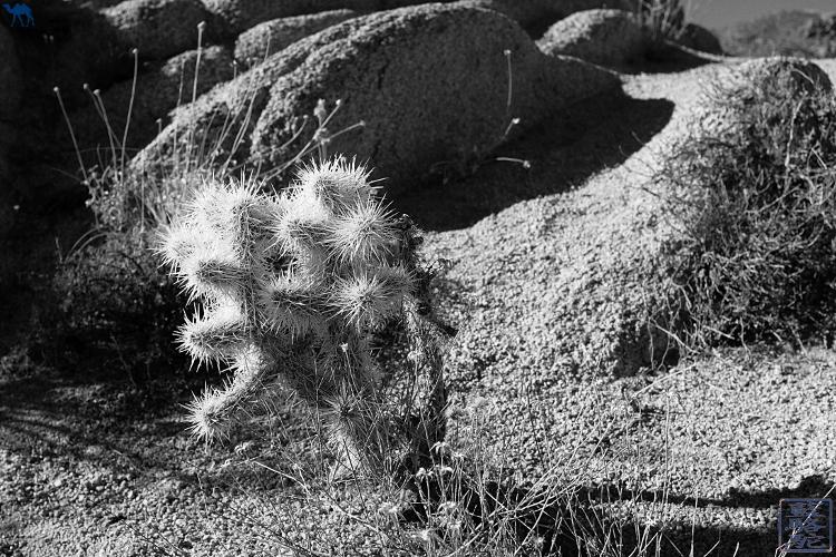 Le Chameau Bleu - Desert de La Californie du Sud - Ocotillos et Cactus
