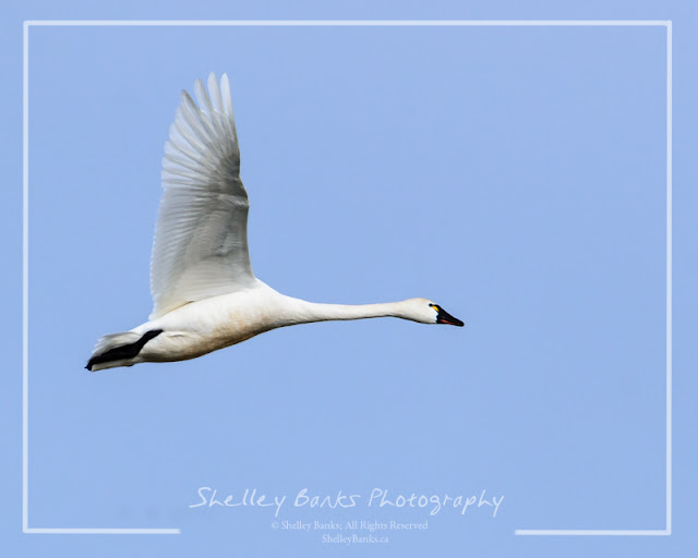Tundra Swan. Copyright © Shelley Banks, all rights reserved.