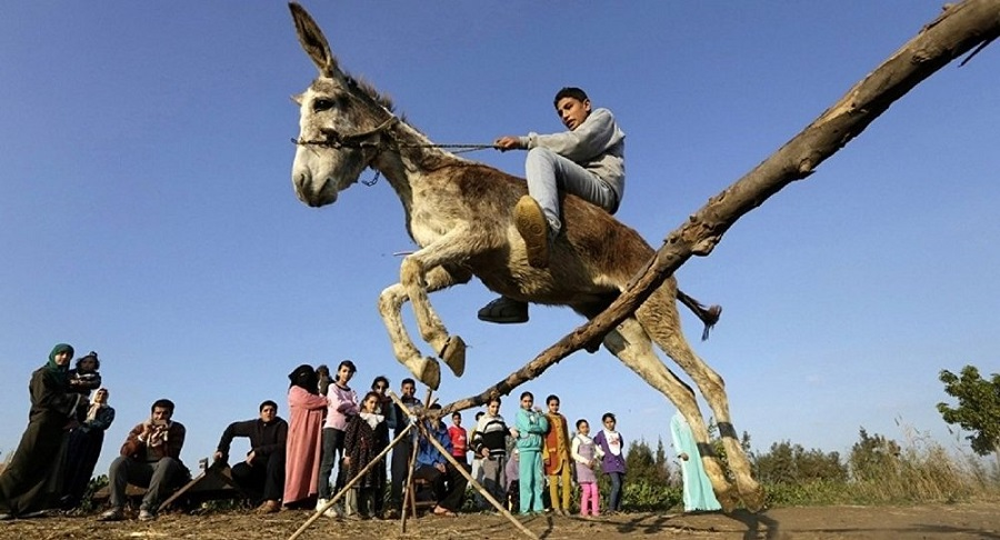 يا عم الحمير كلهم .كيف تقنع الحمار بانه حصان يستطيع القفز فوق الحواجز