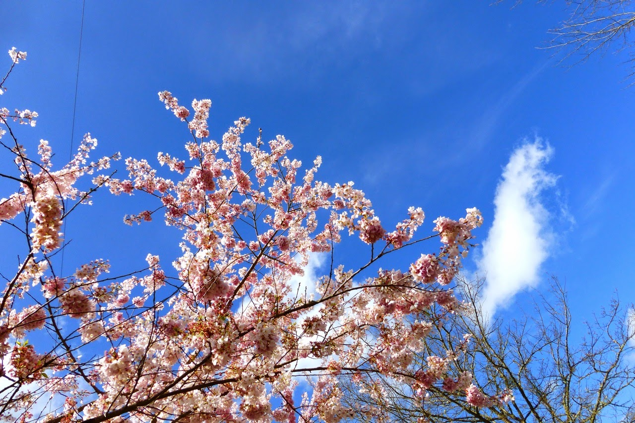 ume hanami, first day of spring, under a plum blossom tree, pink plum blossoms, plum blossoms, pink blossoms, blue sky
