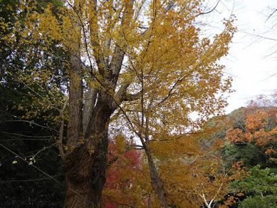 獅子窟寺 銀杏の木