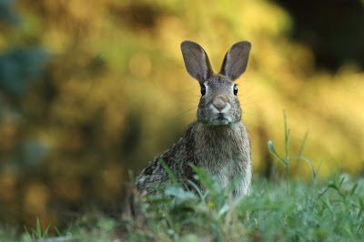 Rabbit in tall grass