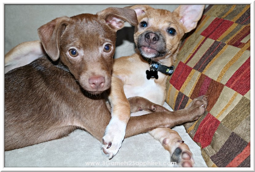 Adorable rescue Jack Chi puppies #AveenoEczemaTherapy #MC  |  www.3Garnets2Sapphires.com
