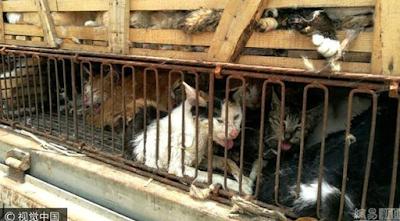 500 Kucing Ini Siap Dihidangkan di Restoran, Untung Saja Polisi Tahu