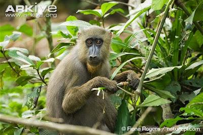 endangered african monkeys