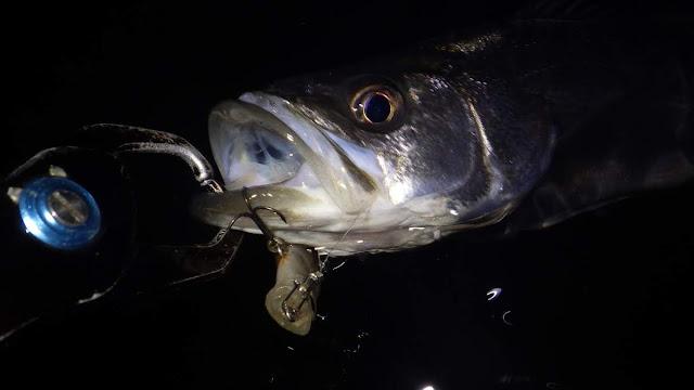 シーバス 湾奥干潟 ナイトレイド80F