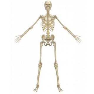 Pengertian Sistem Rangka Manusia Beserta Struktur, Fungsi dan Klasifikasinya Lengkap