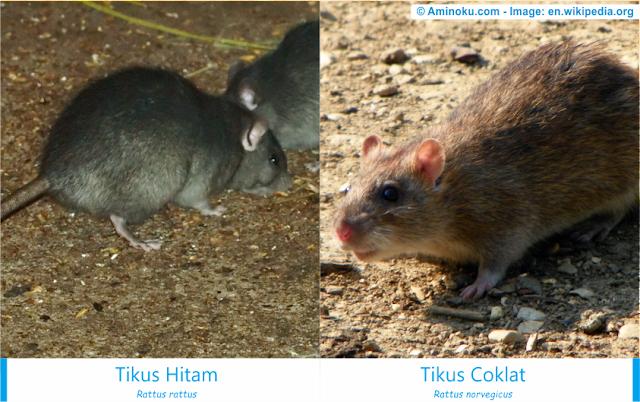 Perbedaan antara tikus hitam dan tikus coklat