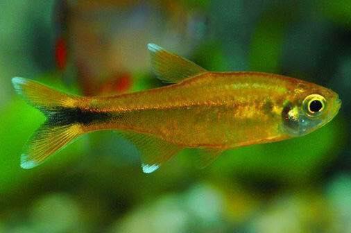 cá nana trong bể thủy sinh thường bơi thành đàn