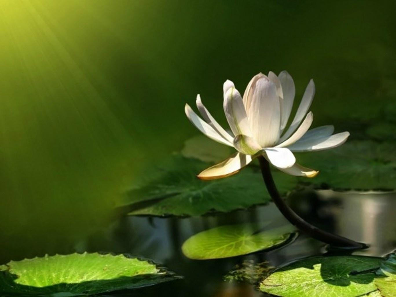 Lotus Wallpapers Hd