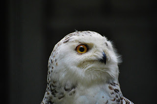 The snowy owl (Bubo scandiacus) is one of many familiar bird species that now find themselves globally threatened with extinction.  (Credit: Pixabay) Click to Enlarge.