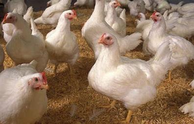 Beternak Ayam Potong