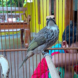 Burung Cucak Rowo -  Treatmen Mabung Burung Cucak Rowo - Penangkaran Burung Cucak Rowo