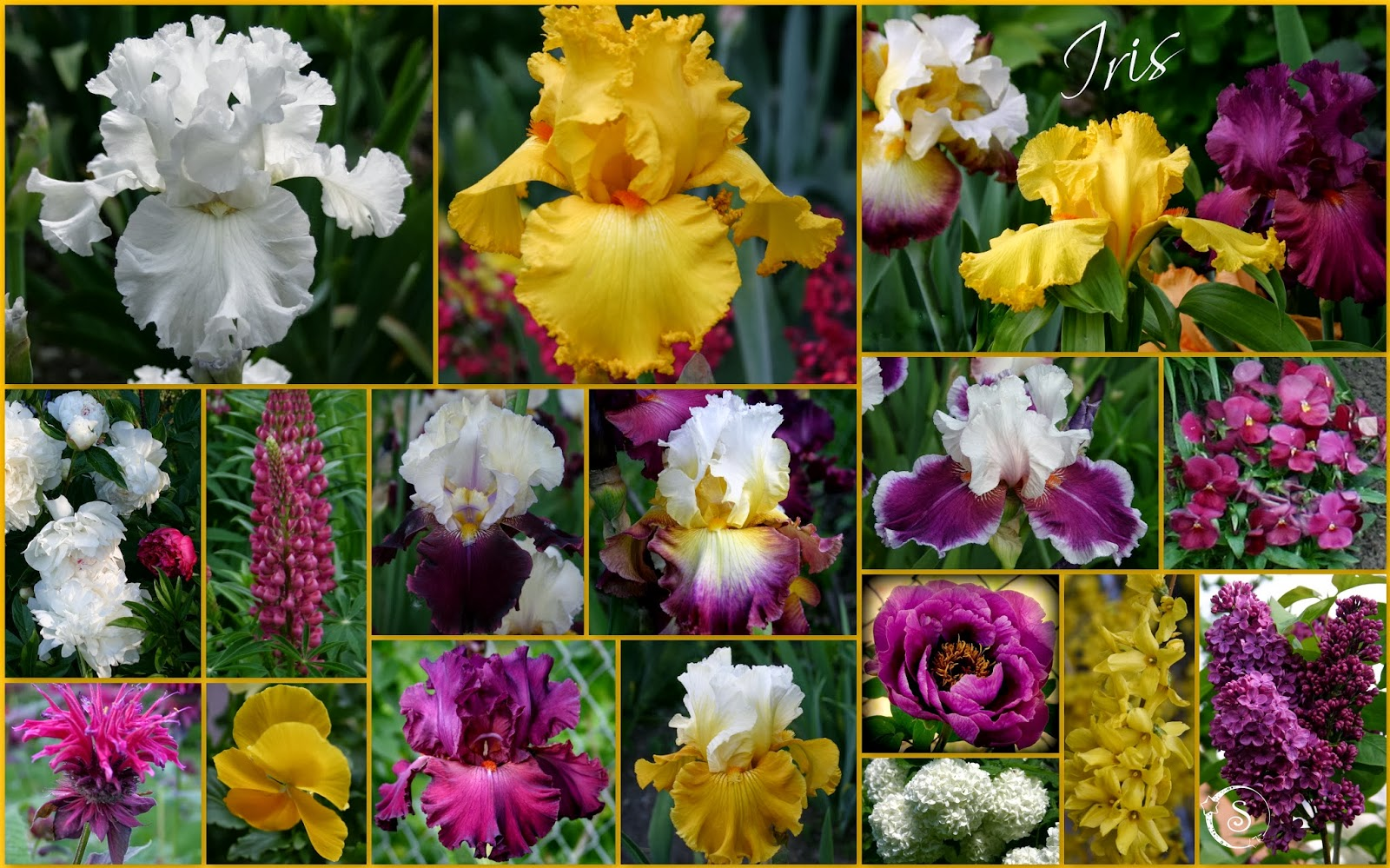 World of irises talking irises tall bearded iris and companion plants ringo vizier and salzburg echo are complimented in this bed with peonies lupine pansies monarda and the last blooms of forsythia izmirmasajfo
