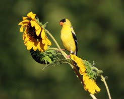 Sunflowers, Goldfinches, etc