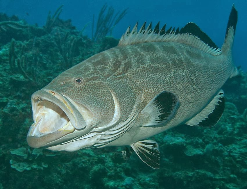 DNA Barcoding: Grouper or not grouperYellow Mouth Grouper