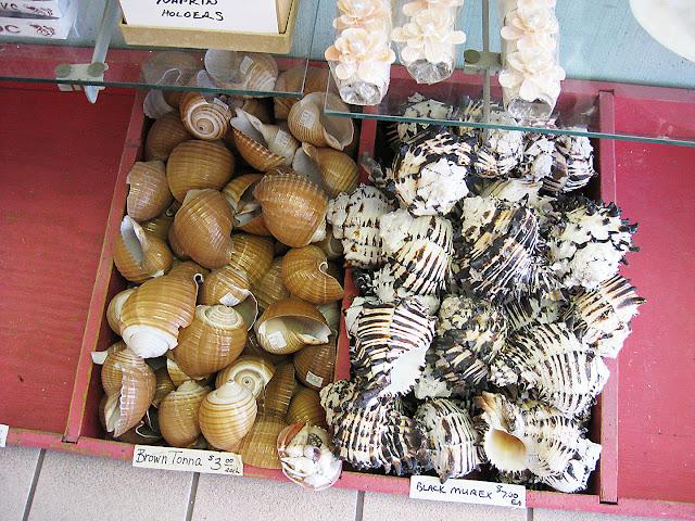 brown tonna snail shells and black murex shells