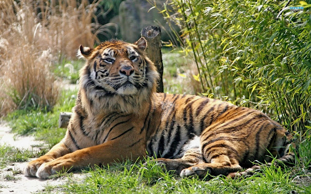 Epic Animal Wallpapers Top 35 Most Beautiful Tiger Wallpapers