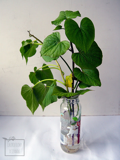 Jak ukorzenić batata z bulwy? Ukorzenianie, pozyskanie i uprawa rośliny z bulwy wilca ziemniaczanego (Ipomoea batatas) sprzedawanej w sklepie.  Biały nalot na liściach batata.