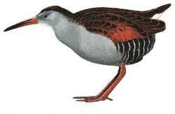 endangered Rallidae