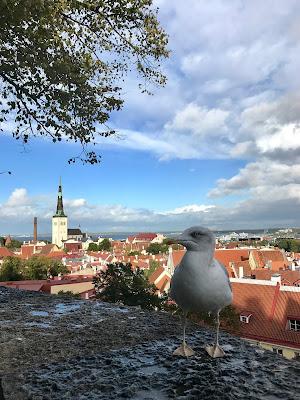 Nærbilde av en måke. Tallinns gamleby i bakgrunnen.