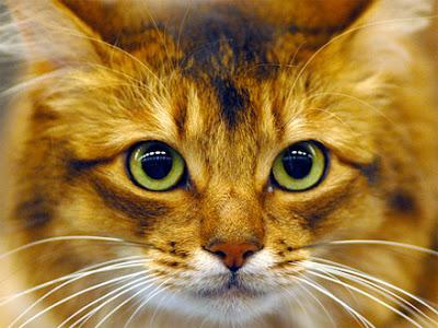 3d439d47f Os gatos. Os gatos sim são loucos. Insones. Boêmios. Transtornados de  desejo. Rasgando as madrugadas com gritos delirantes de amor.