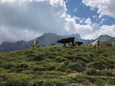 Cows below Rifugio Branchino and above Baita Bassa del Monte Neel.