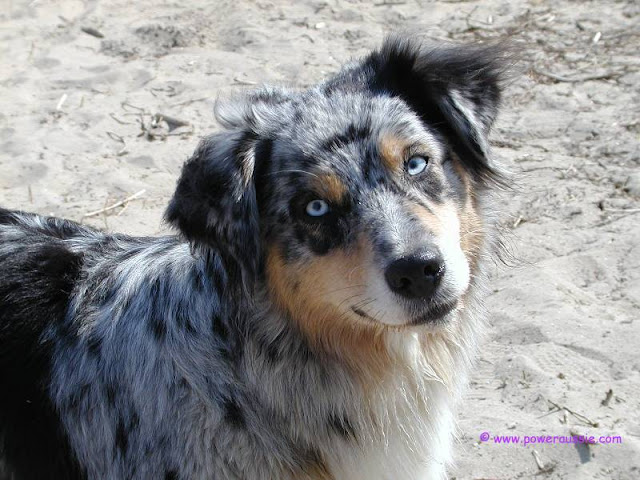 Australian shepherd how do they mature