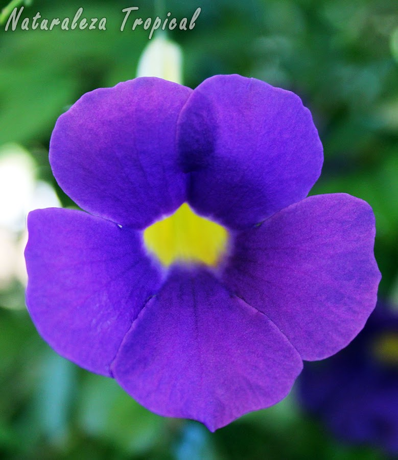 Flor del arbusto conocido como Manto de Rey, Thunbergia erecta