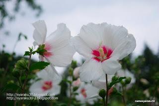 白いムクゲの花写真