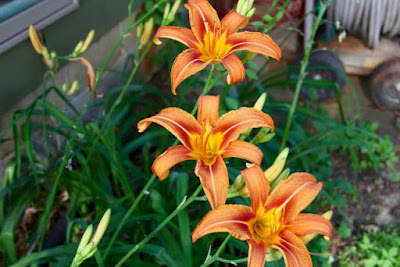 daylillies, first blooms 2016