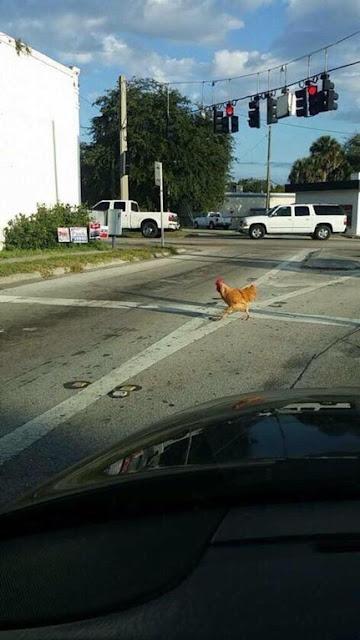 Pollo cruzando la carretera