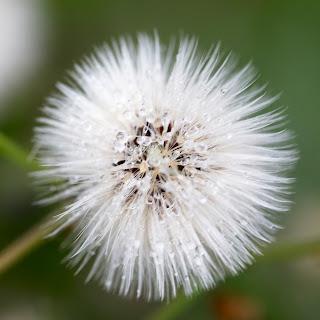 A macro detail of a dandelion puff with dew drops on it, Cedar Park, Texas, USA