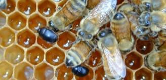 Η διασπορά του σκαθαριού των μελισσιών