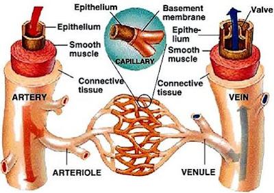 Imagen de los Vasos Sanguíneo indicando sus partes en inglés