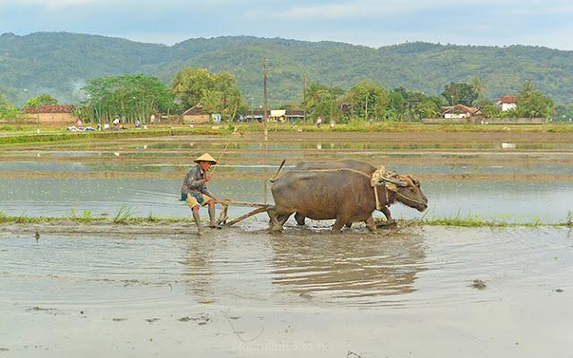 Seorang petani membajak sawah menggunakan Luku
