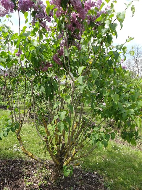 Le blog de parcs et jardins de l 39 oise une collection de - Quand tailler les lilas ...