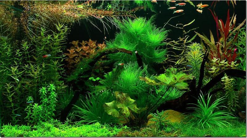 Cây thủy sinh liễu thơm thường được trồng ở vị trí trung cảnh và hậu cảnh