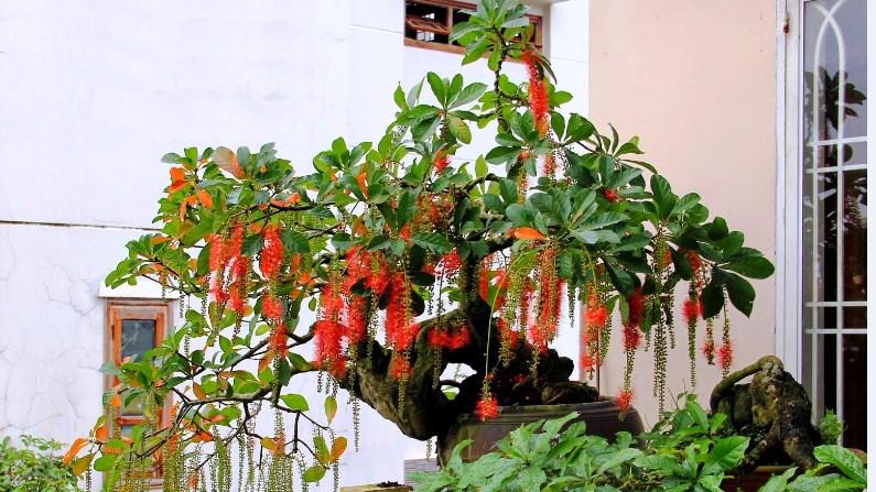 Cho cây Lộc Vừng ra hoa vào dịp tết