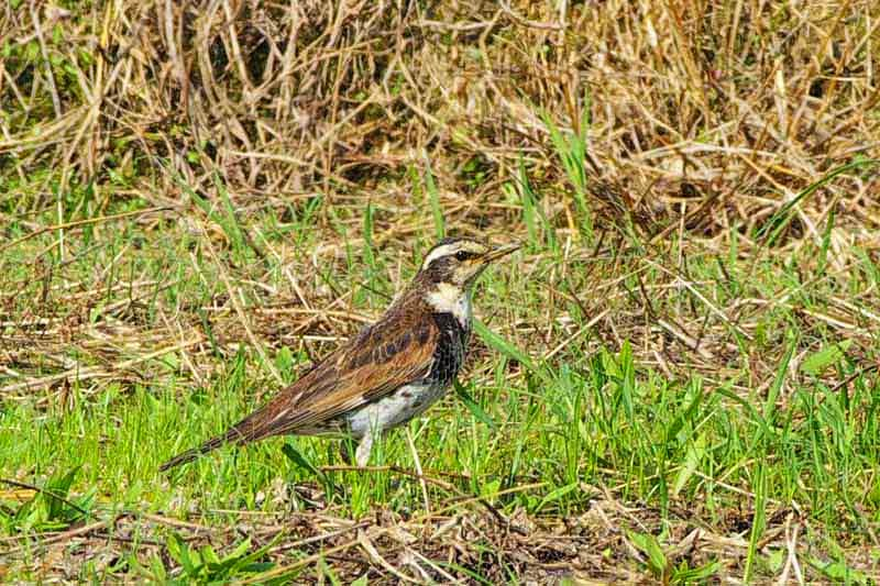 Dusky Thrush, posing in field