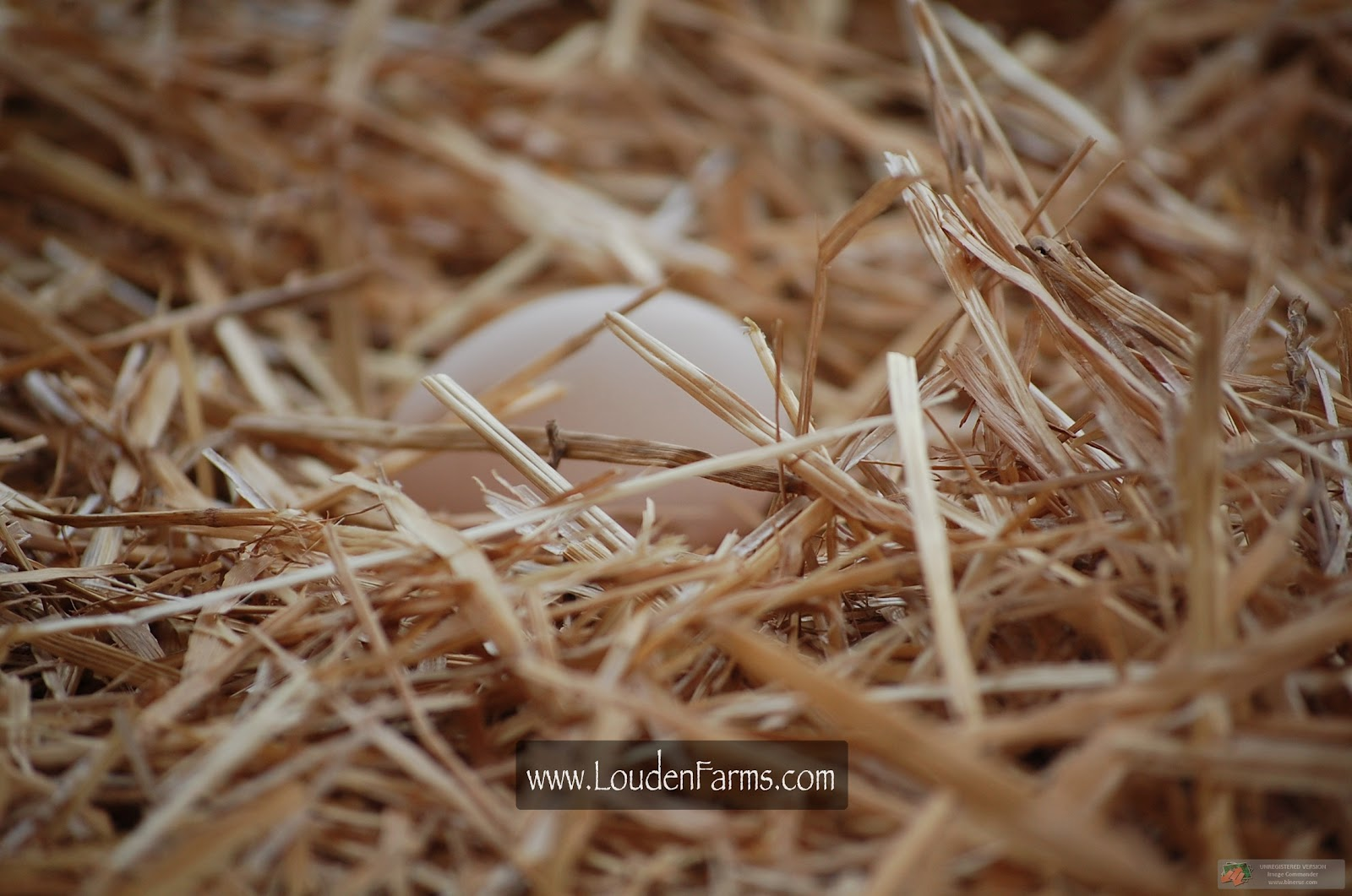 6LittleChickies - Life on Louden Farms: Peafowl 101