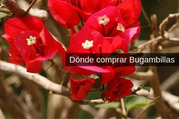 Bungambilla, aquí es donde puedes comprar Bouganvillea glabra, B. spectabilis y B. peruviana