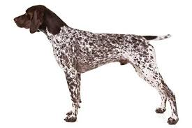 Anjing Ras German Shorthaired Pointer