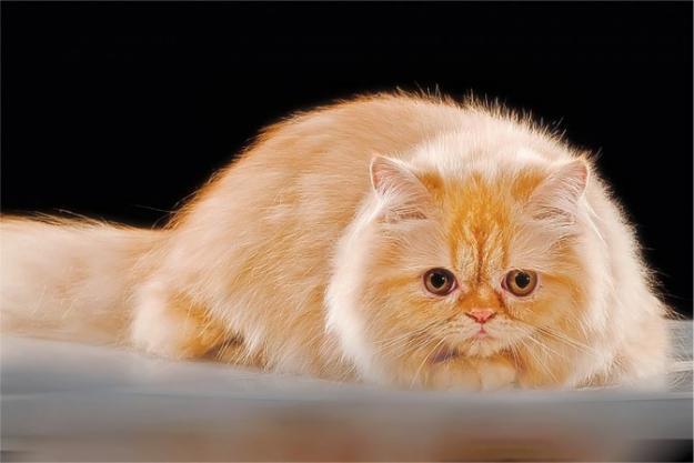 9 Cara Merawat Kucing Persia Memelihara Blog Cara Dan Tips