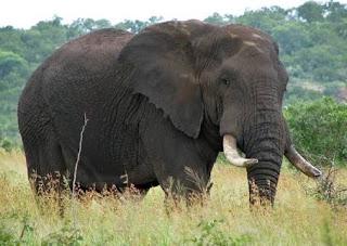 Gajah yakni binatang yang mempunyai badan yang sangat besar Ciri-Ciri Gajah