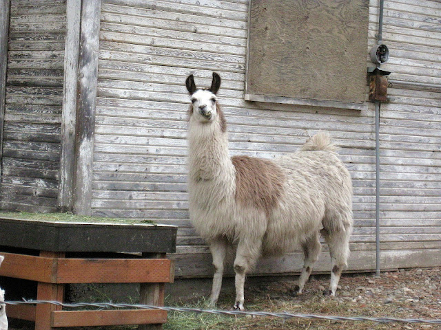 Drama Llama, Living From Glory To Glory Blog...