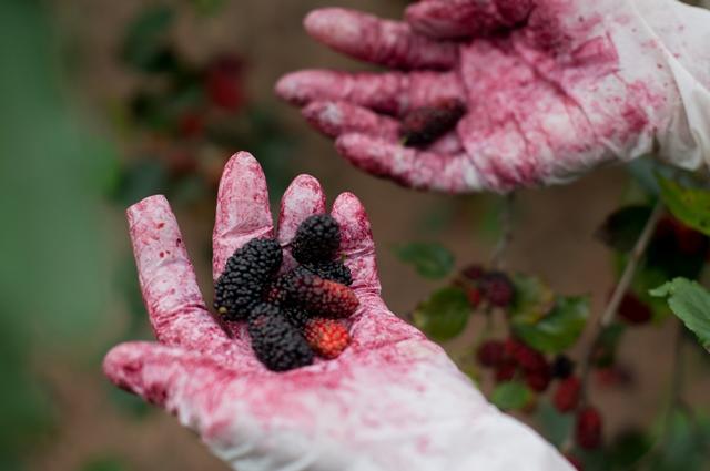 Mulberry: Summer starts in Hanoi 1