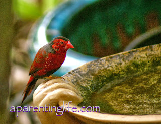 Male crimson finch at bird bath