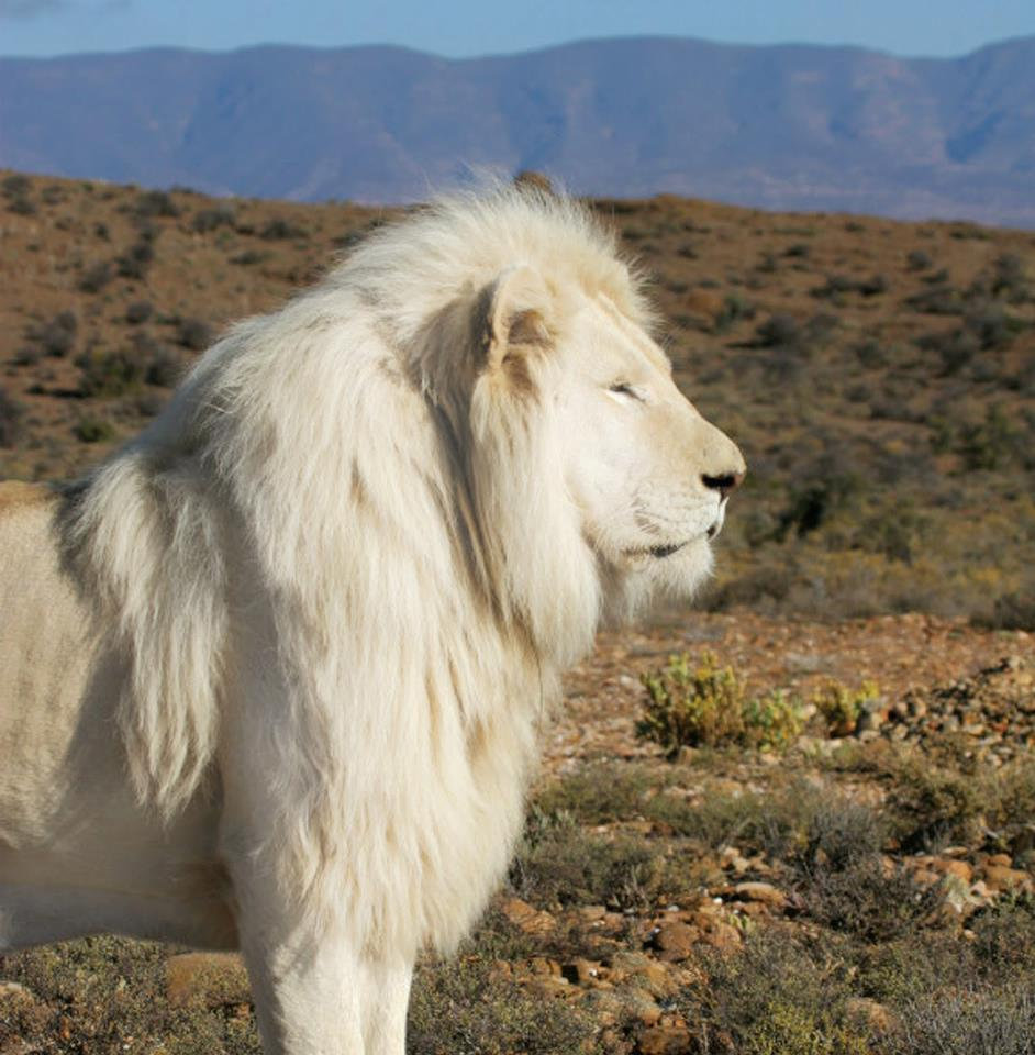 FUN FACTS: White Lions