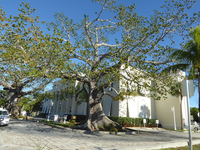 albero secolare a key west
